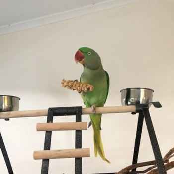 pet macaw with corn cob